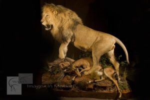 African Lion with Impala Kill