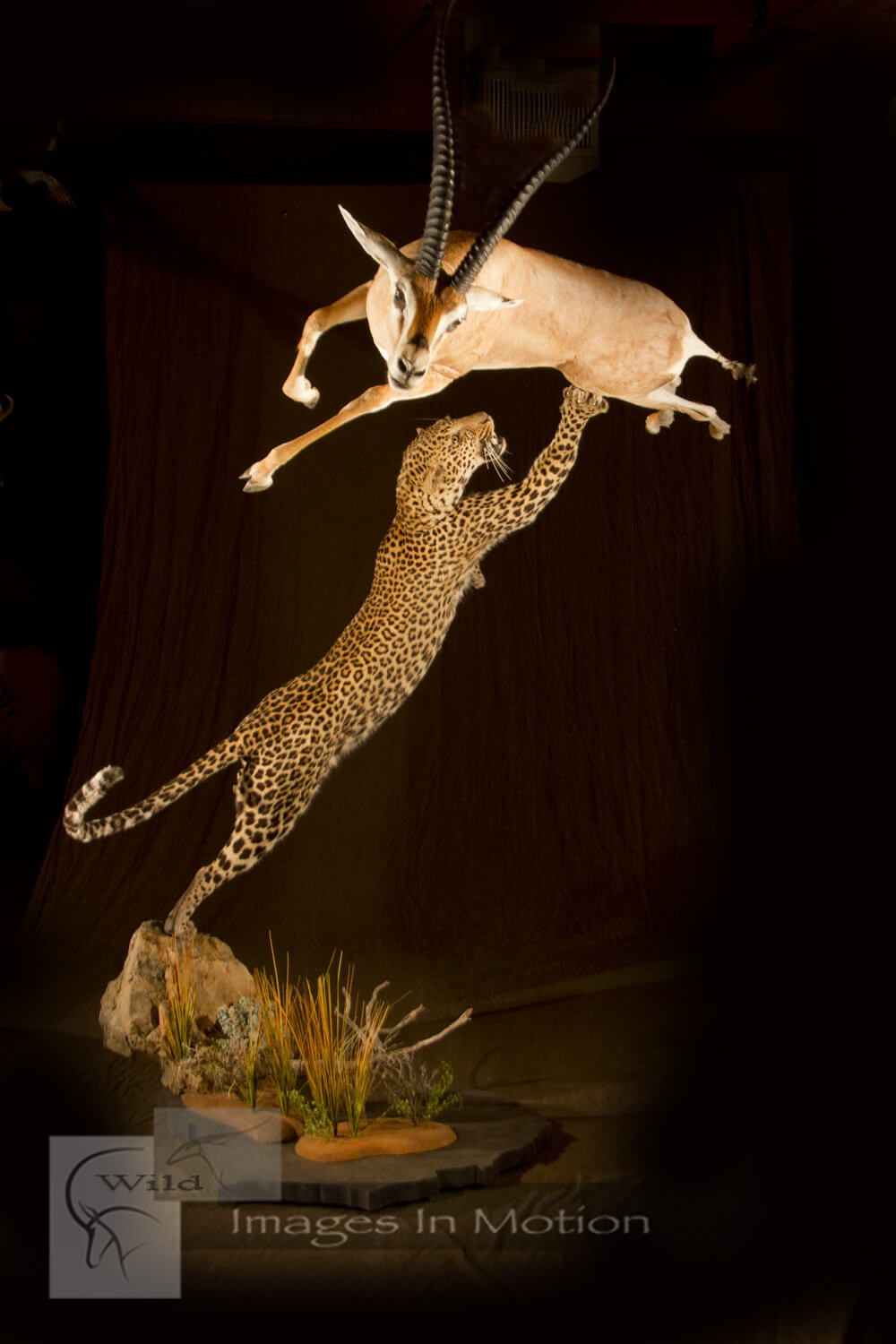 Attacking Leopard Leaping Gazelle