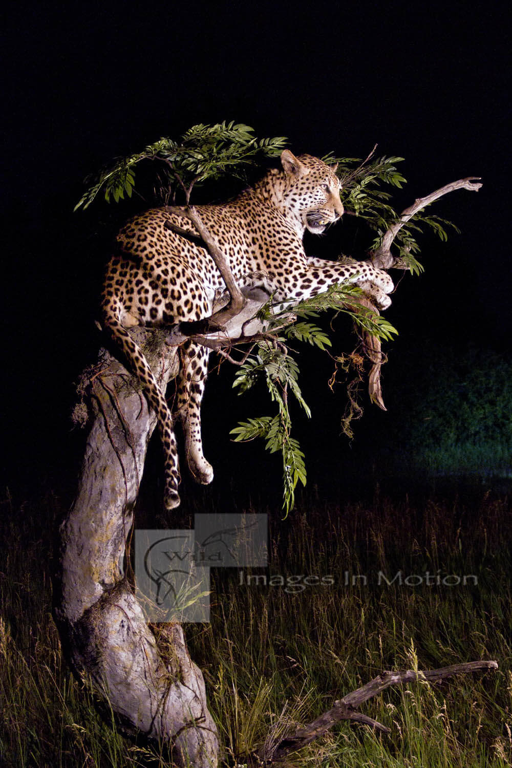 Broken-acacia-tree-with-resting-leopard