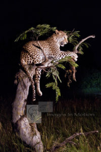 Broken Acacia Tree with Resting Leopard.jpg