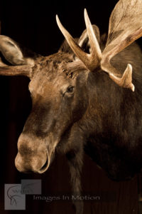 Canadian Moose close up