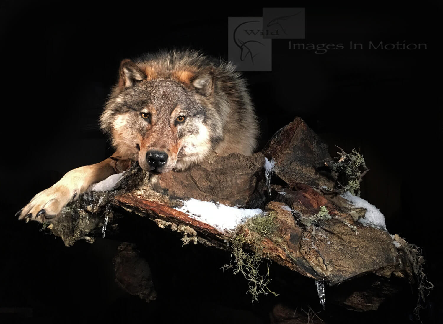 Canadian wolf laying down