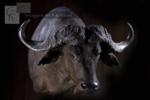 Cape Buffalo shoulder-mount