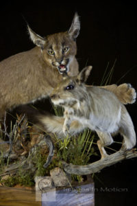 caracal-and-springhare