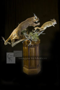 caracal-chasing-a-springhare
