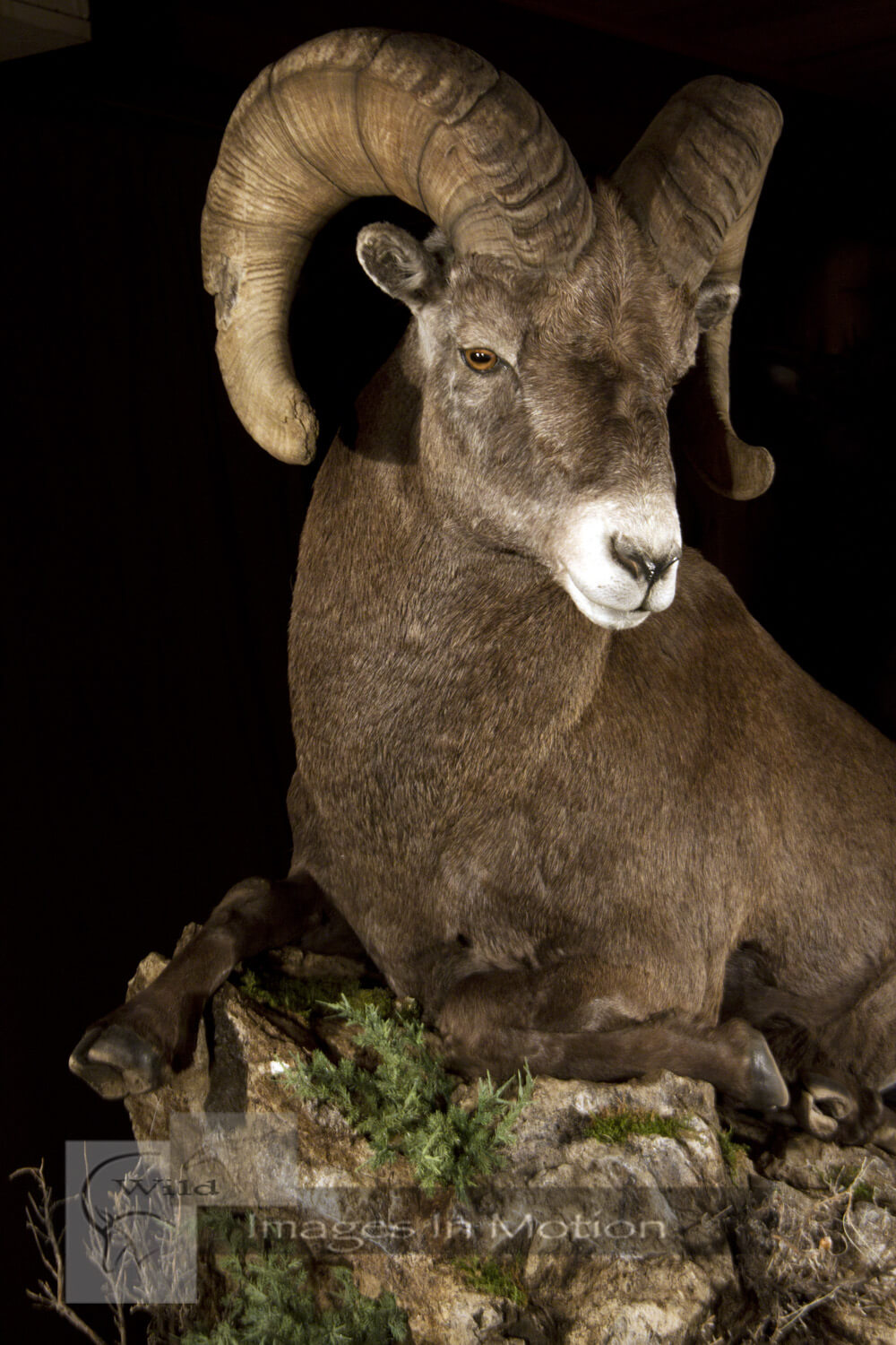 Colorado Bighorn Sheep close up