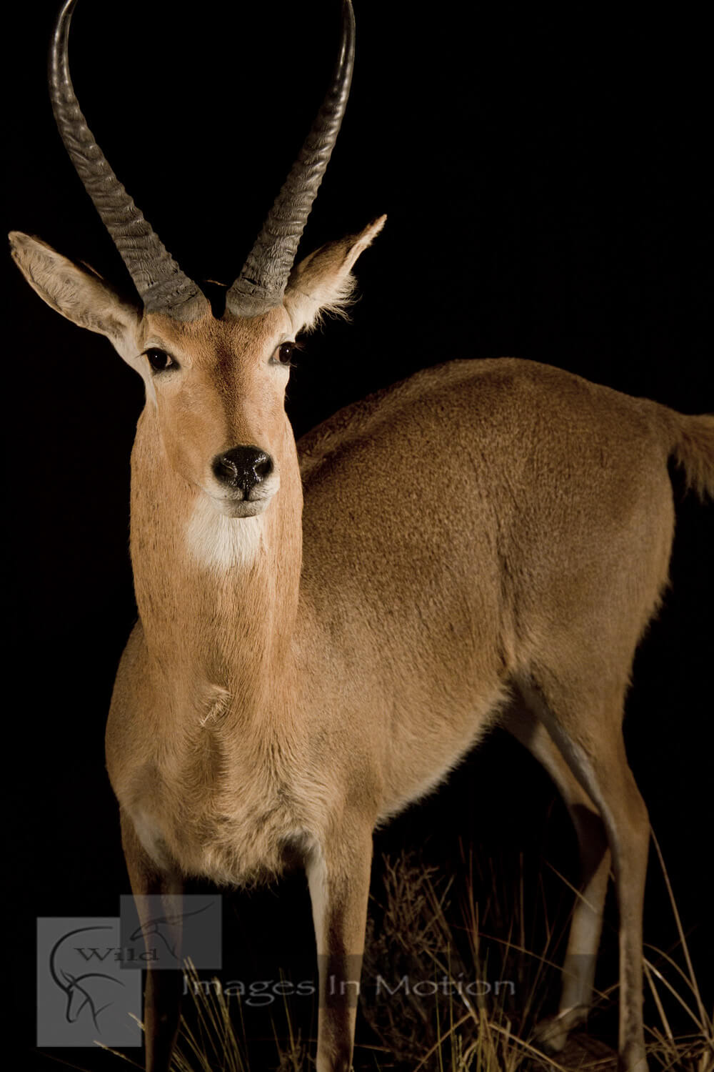 Common reedbuck close up