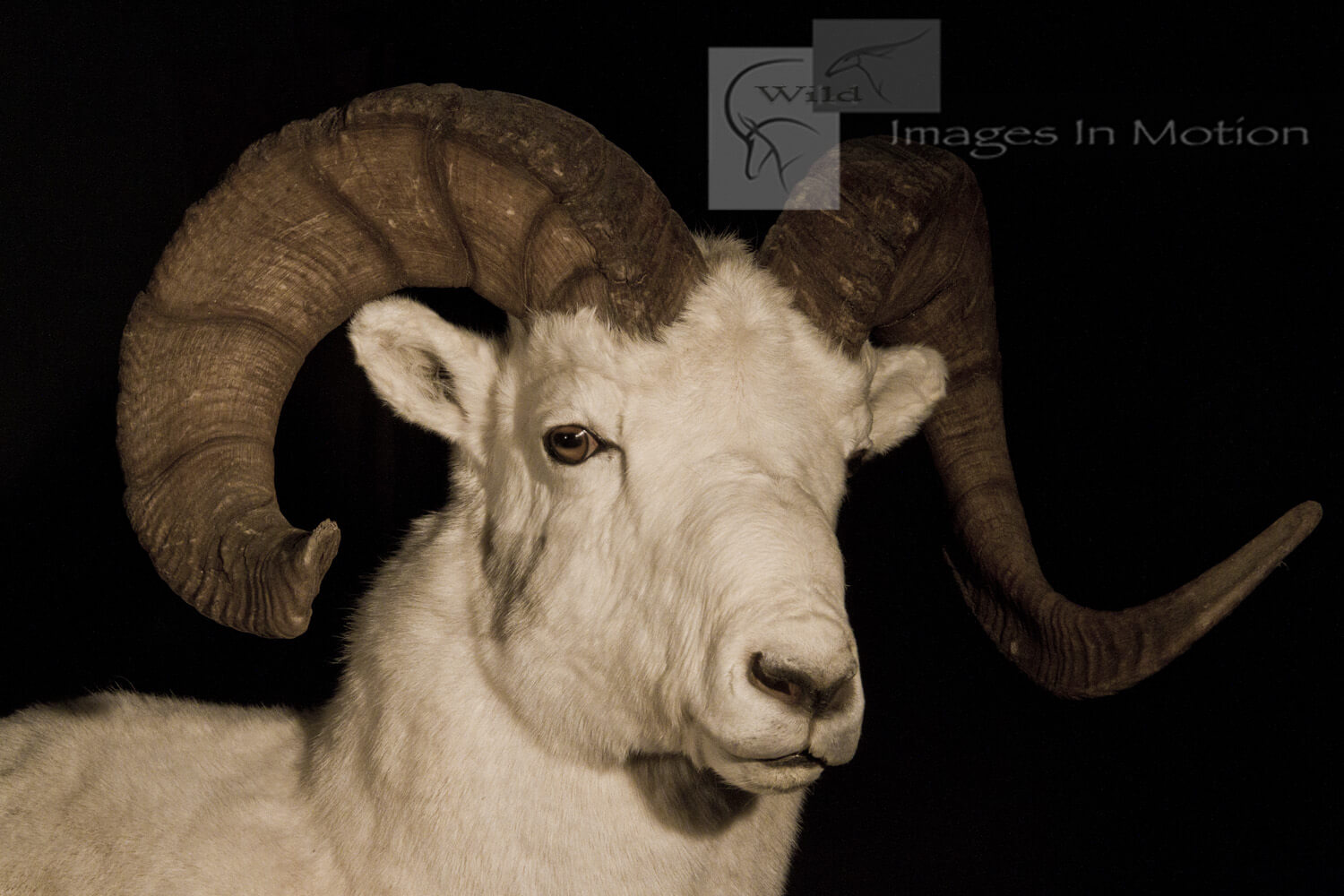 Dall Sheep close up