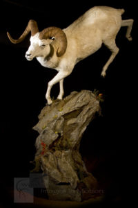 Dall sheep running