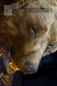 Eurasian Brown Bear close up