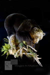 Eurasian Brown Bear feeding