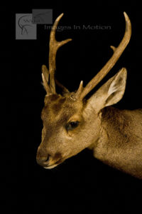 Hog Deer Close-up
