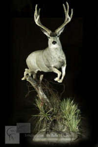 Leaping-mule-deer-early-season