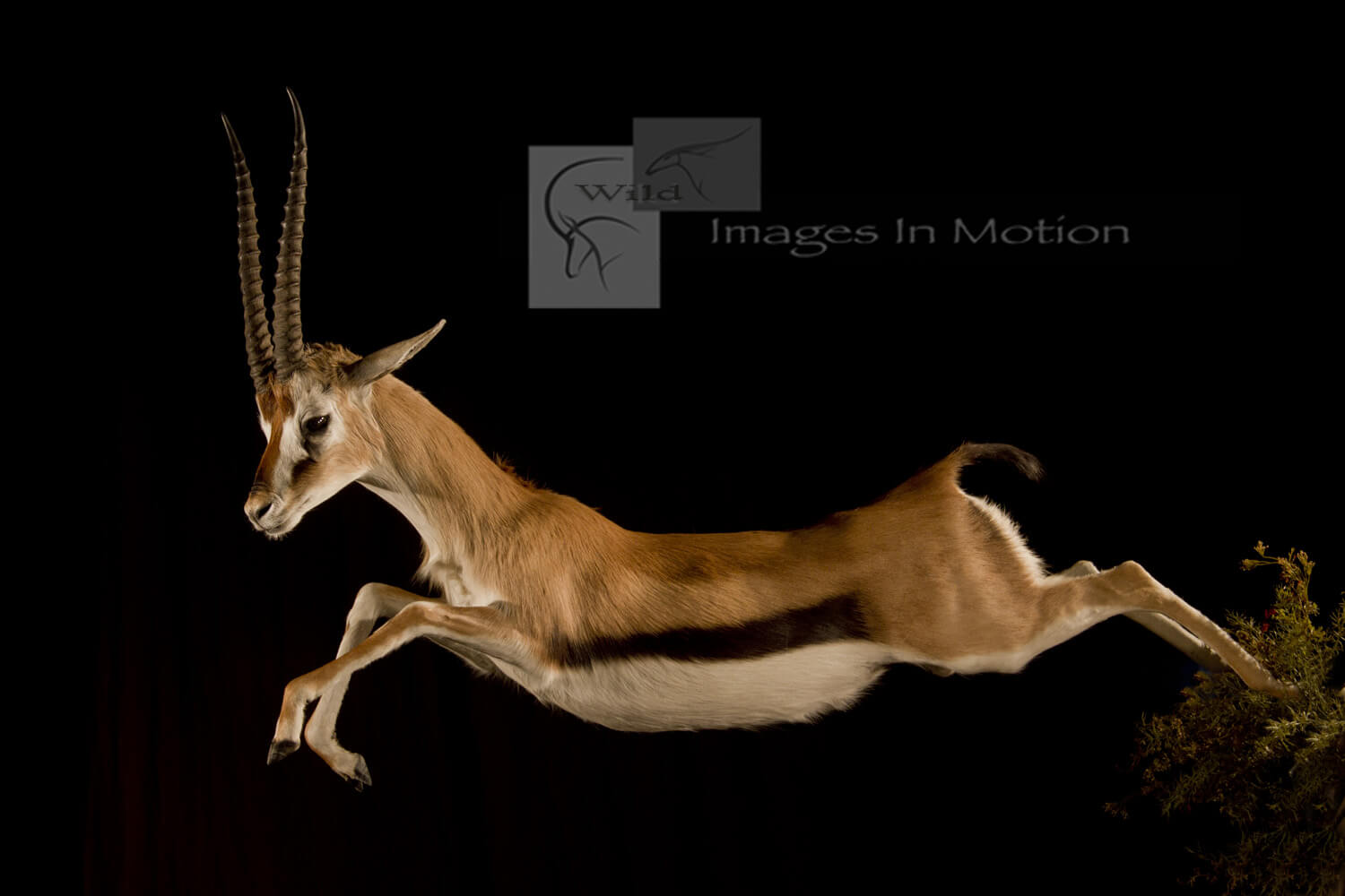 Leaping Thompson Gazelle