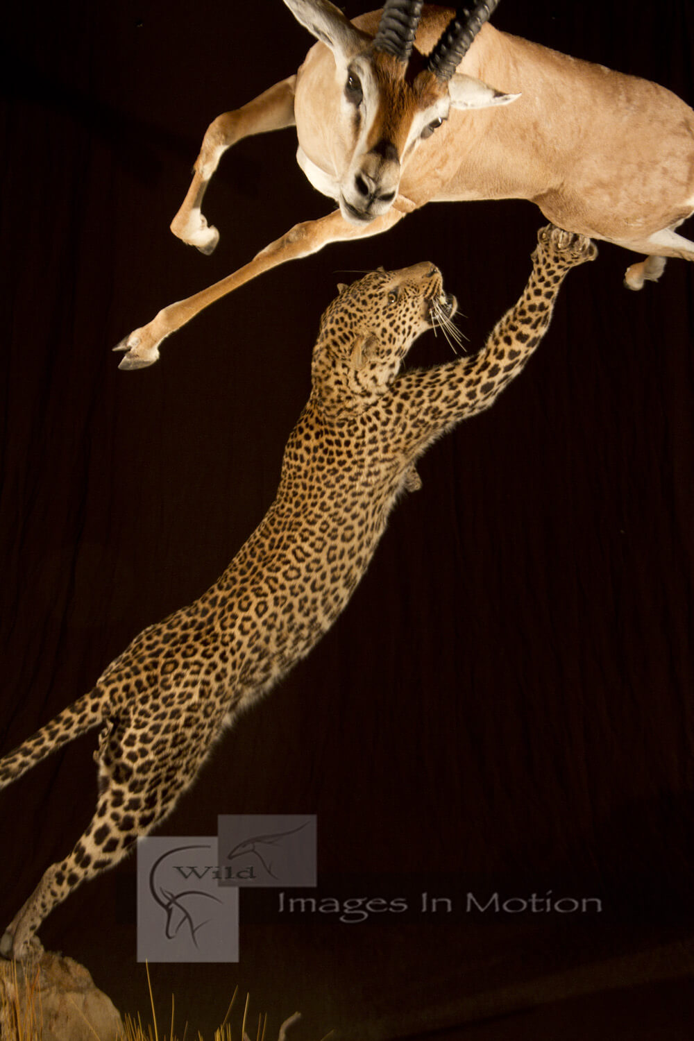 Leopard Attacking Gazelle