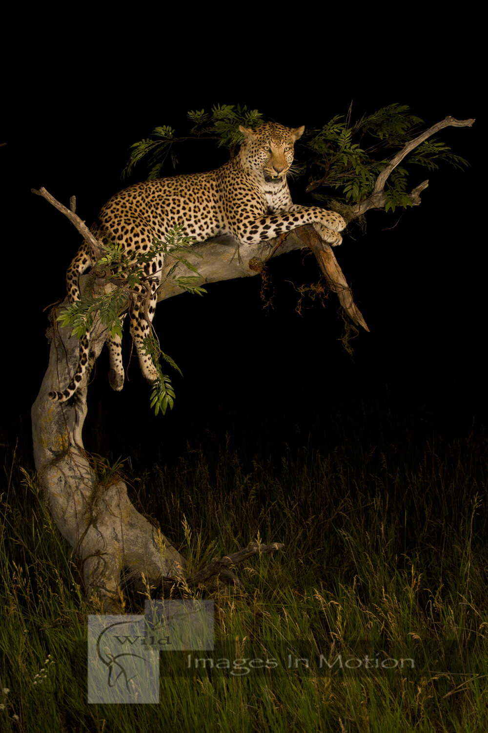 Leopard Lounging In Tree