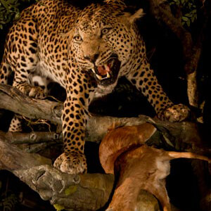 Leopard Defending Steenbok kill