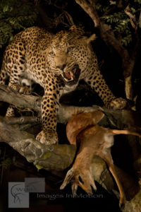 Leopard with Steenbok Kill