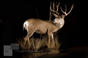 Monster Mule Deer