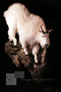 Mountain-goat-descending
