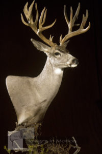 Non-Typical Early Season Mule Deer