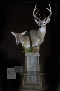 pair of texas whitetails