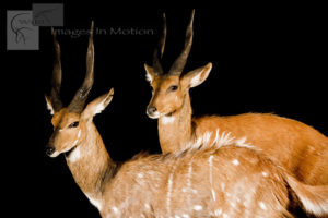Pair of BushBucks
