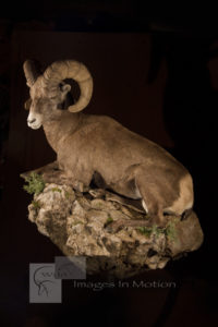 Rocky Mountain Bighorn Sheep At Rest