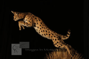 serval-mousing