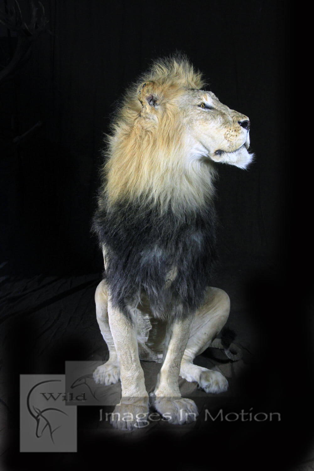 Sitting-African-Lion