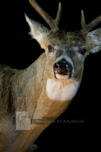 startled whitetail