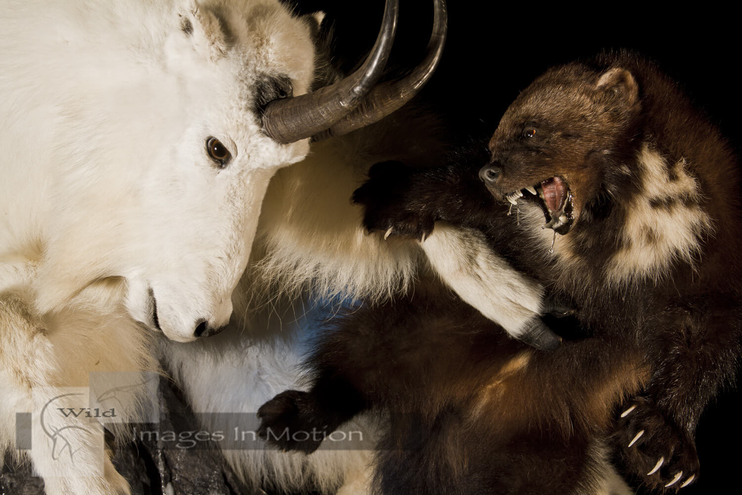 Wolverine Attacking Mountain Goat