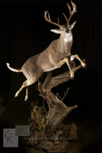Columbia Whitetail leaping