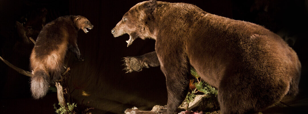 header-grizzly-and-wolverine