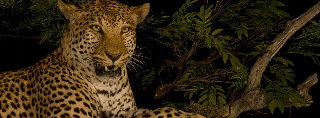 header-leopard-close-up