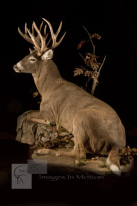 whitetail-deer-laying-down