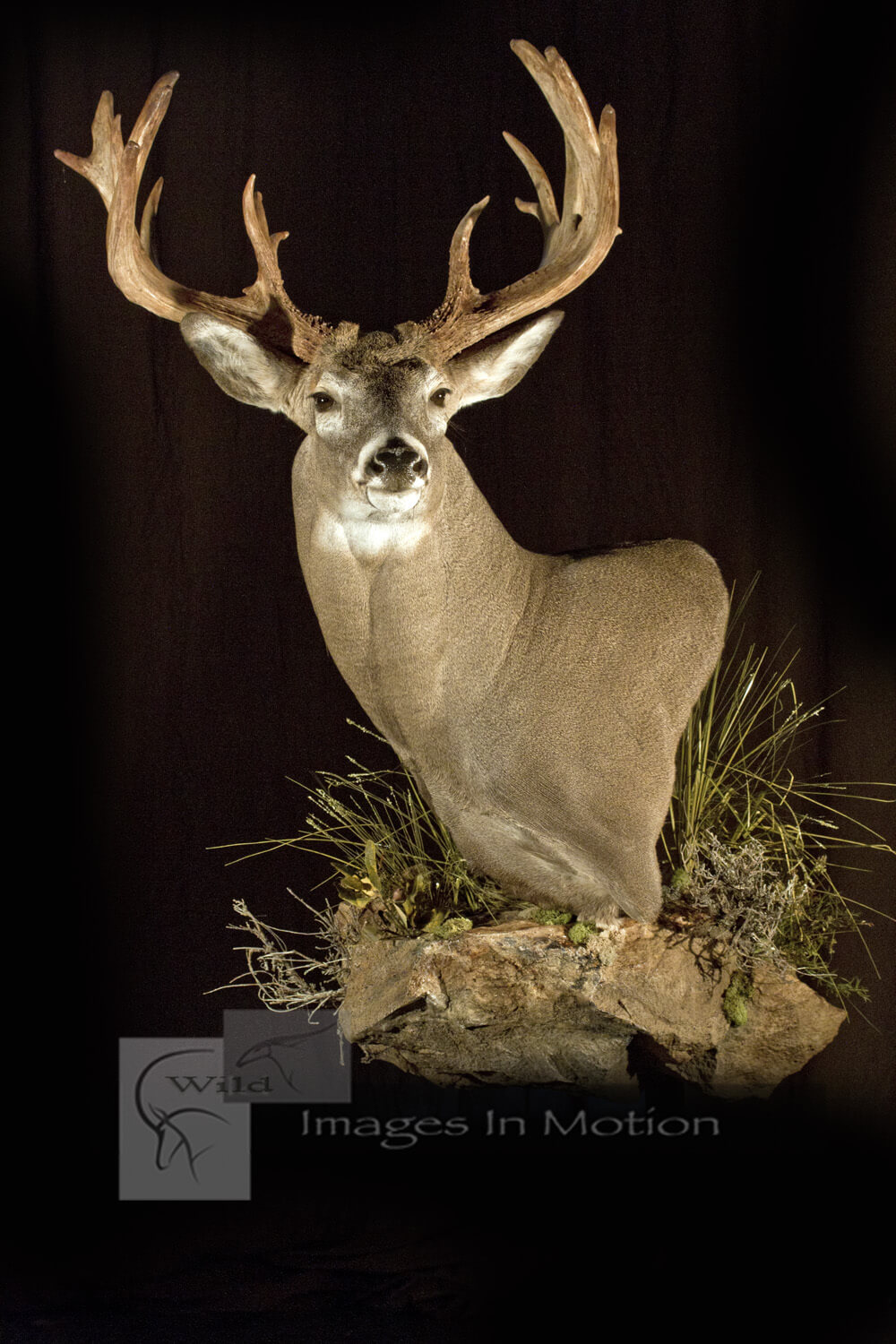 North American Whitetail Deer Pedestal Wild Images In Motion